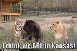 lionstigersbearsmeme